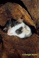 MU60-063z  Domestic Pet Mouse