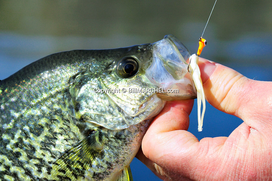 00247-011.11  Black Crappie: Close up of crappie with jig in its mouth.  Panfish, fishing, lake, river.