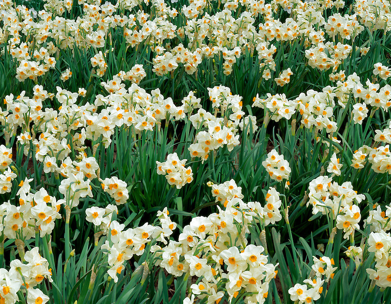 Gladiolas. Greengable Farms, Oregon.