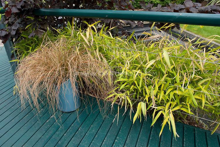 Ornamental grass Carex comans 'Bronze' in pot planter container on deck with Bamboo Pleioblastus auricomus