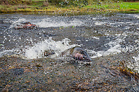 Two Wild Coho or Silver Salmon (Oncorhynchus kisutch) on fall spawning migration, swimming up shallow river.  Pacific Northwest.  October.  Wild fish not hatchery fish.