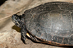 Plymouth Red-belly Cooter medium shot face and carapace.
