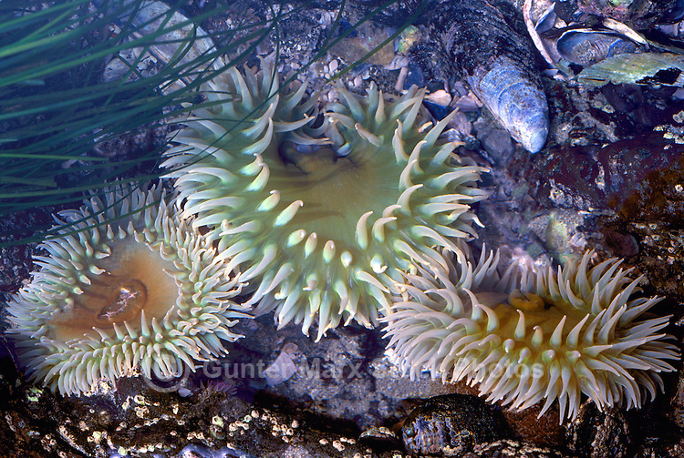 Giant Green Anemones (Anthopleura xanthogrammica) in Tidal Pool, along Pacific West Coast, BC, British Columbia, Canada