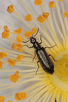 Bleischwarzer Wollhaarkäfer, Bleischwarzer Haarkäfer, Wollhaar-Käfer, Blütenbesuch in einer Wildrose, Dasytes plumbeus, Melyridae, soft-wing flower beetles