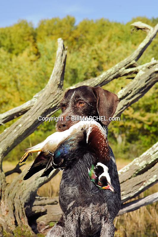 00279-019.05 Deutsch Drahthaar (DIGITAL) poses with drake wood duck in its mouth in ideal duck habitat.  Hunting, waterfowl. V6F1