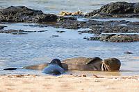 Hawaiian monk seals, Neomonachus schauinslandi, Critically Endangered endemic species, mother nursing 5-week old pup (will be weaned in 6 days), Larsen's Beach, Moloa'a, Kauai, USA, Pacific Ocean