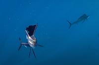pelagic Atlantic sailfish, Istiophorus albicans or platypterus, use a cooperative hunting strategy to herd sardines into a baitball for easier feeding, Yucatan Peninsula, Mexico Caribbean Sea near Contoy Island, Isla Mujeres, Cozumel, Cancun