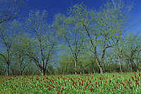 Pecan trees and Crimson clover field in Mitchel County Georgia