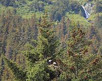 A pair of nesting Bald Eagles sit in their nest high in an evergreen tree near Seward, Alaska.