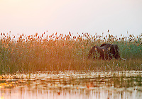 African elephants stride through the marshland of the Okavango Delta, Botswana