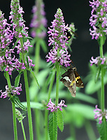 Purple pink Anise flowers stems with butterfly and bumble bee on the flowers - Free nature stock image.