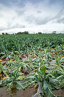 Cauliflower loss due to flooding - Lincolnshire, October