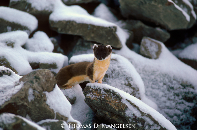 A weasel stands on snow-covered rocks in Idaho.