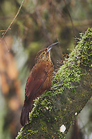Strong-billed Woodcreeper (Xiphocolaptes promeropirhynchus), adult,Mindo, Ecuador, Andes, South America