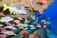 school of snappers , Cocos Island, Costa Rica, Pacific Ocean