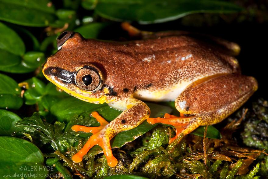 Madagascar reed frog {Heterixalus madagascariensis} on rainforest vegetaion. Masoala Peninsula National Park, north east Madagascar.