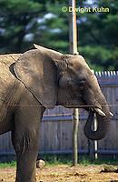 MA36-003z  African Elephant -  Loxodonta africana