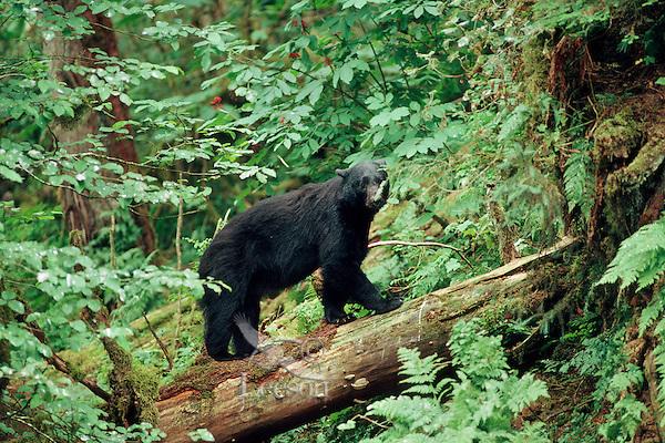 Black Bear (Ursus americanus) boar in old growth forest, Northwest coast area.  Summer.