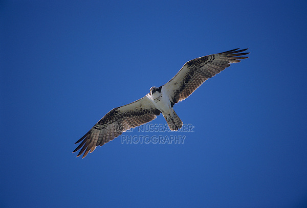 Osprey, Pandion haliaetus,adult flying, Sanibel Island, Florida, USA