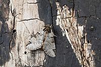 Schwarzeck-Zahnspinner, Schwarzeckzahnspinner, Schwarzfleck-Zahnspinner, Schwarzfleck, Drymonia obliterata, Drymonia melagona, Ochrostigma melagona, Indistinct marbled brown, Zahnspinner, Notodontidae, prominents