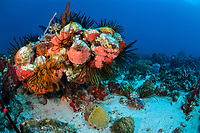 coral reef with a variety of sponges, and golden crinoids, Davidaster rubiginosus, Martinique, France, Caribbean Sea, Atlantic Ocean