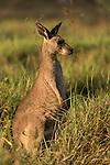 Undara Volcanic National Park, Queensland, Australia; a juvenile Eastern Grey Kangaroo (Macorpus giganteus) feeding on grasses in early morning light