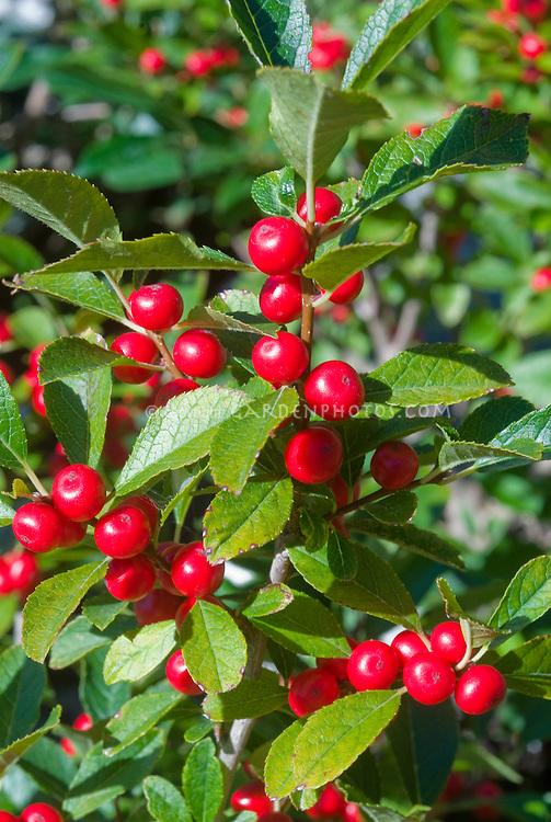 Ilex verticillata 'Red Sprite' berries