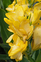 Canna Tropical Yellow spotted flowers, Takii Tropical series