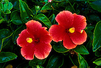 The beautiful hibiscus flower is an Hawaiian favorite