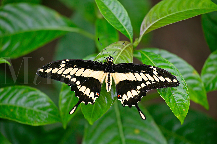 Swallowtail (Papilio thoas) at the largest Butterfly Observatory in the world, La Paz Waterfall Gardens and Peace Lodge, Costa Rica.