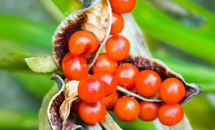 Berry fruit of Iris foetidissima in fall winter