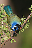 Green Jay, Cyanocorax yncas, adult on Catclaw (Acacia greggii), Willacy County, Rio Grande Valley, Texas, USA, June 2006