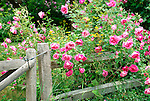 Multi flora rose with fence