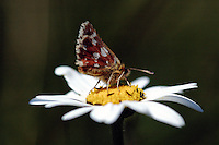 Kalkgraslanddikkopje (Spialia  sertorius)