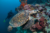 hawksbill sea turtle, Eretmochelys imbricata, and woman scuba diver, Uepi Island, Marovo Lagoon, Solomon Islands, Solomon Sea, South Pacific Ocean, MR