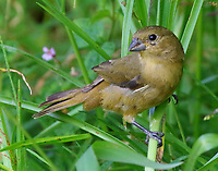 Female yellow-bellied seedeater