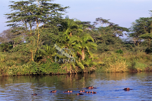 """Common Hippopotamus using small pond--often referred to as a """"hippo pool"""" during day.  Africa."""