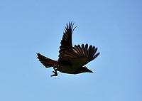 BUGA Ð COLOMBIA - 06-12 -2016: Bichofue Griton especie de ave presente en el Departamento del Valle del Cauca. / Bichofue Griton bird species present in Valle del Cauca Department. Photo: VizzorImage/ Luis Ramirez / Staff.