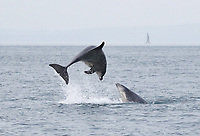 BNPS.co.uk (01202 558833)<br /> Pic: TomBrereton/BNPS<br /> <br /> Pictured: The dolphins have have become the first to swim over 800 miles to join another group.<br /> <br /> Dolphins from one of the three colonies known to inhabit UK waters have become the first to swim over 800 miles to join another group, marine scientists have revealed.<br /> <br /> The two bottlenose dolphins are known to have left the Moray Firth in Scotland in 2018 and have now joined the group that inhabit the sea off the south west coast.