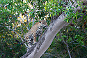 Female Jaguar (Panthera onca palustris) climbing a tree and territorial scent marking. The edge of the Cuiaba River. Porto Jofre, northern Pantanal, Mato Grosso State, Brazil.