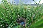 Red-winged Blackbird (Agelaius phoeniceus) nest and eggs. Sublette County, Wyoming. June.