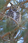 A Great Horned owl sits in a tree in Washoe Valley, Nev., on Feb.3, 2010..Photo by Cathleen Allison.