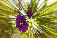 The Lycianthes rantonnetii is known as  potato bush, blue potato bush, Paraguay nightshade, and even Royal Robe.