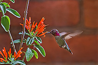 Male Anna's Hummingbird (Calypte anna) feeding on mexican firecracker flowers.