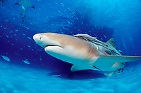 Lemon Shark, Negaprion brevirostris, Bahamas, Grand Bahama Island, Caribbean, Atlantic
