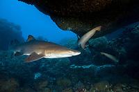 sand tiger shark, Carcharias taurus, aka grey nurse shark, spotted ragged-tooth shark, or blue-nurse sand tiger, in cave, Chichi-jima, Bonin Islands, Ogasawara Islands, Natural World Heritage Site, Tokyo, Japan, Pacific Ocean