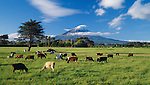 Cows on a dairy farm in Delvin.  Mount Taranaki (Egmont) in background. Taranaki Region. New Zealand.