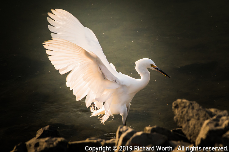 A Snowy egret lands with its intricate and elegant wings spread and glowing from the sun behind it while exploring the rocky shoreline at a marina along San Francisco Bay.