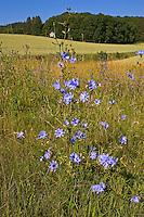 Wegwarte, Zichorie, Cichorium intybus, Chicory