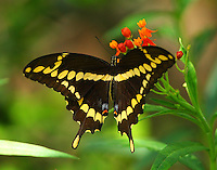 Giant swallowtail on butterfly weed blossom